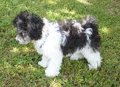 Allergikerhund Bolonka Zwetna