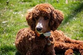 poodle-allergikerhund