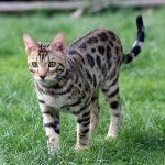 Bengalkatze für Allergiker