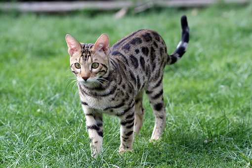 Leopard Cat Kittens Uk