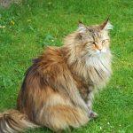 Sibirische Katze für Allergiker