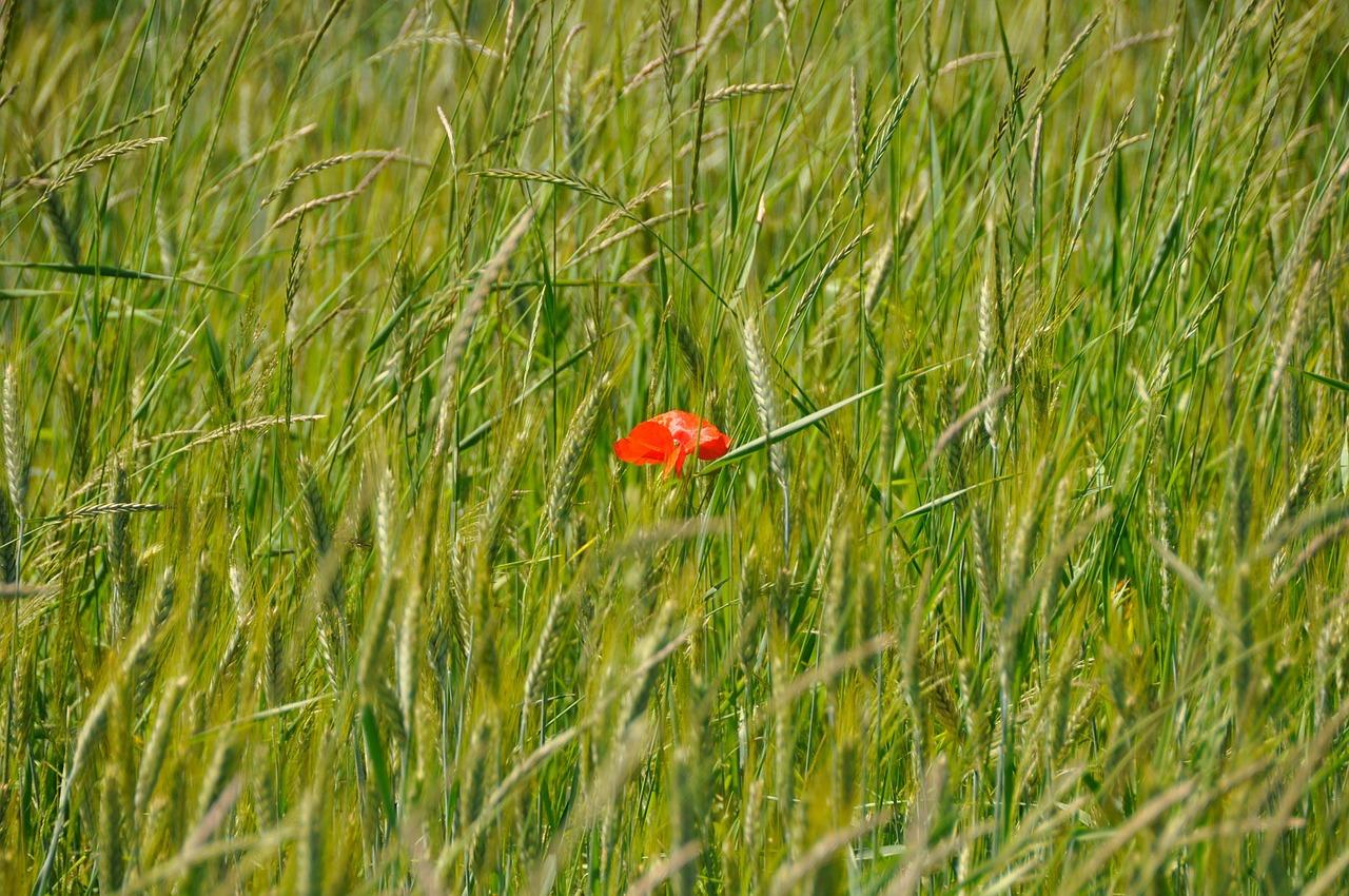 roggen, gräserpollenallergie