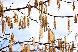 Pollenflug Januar