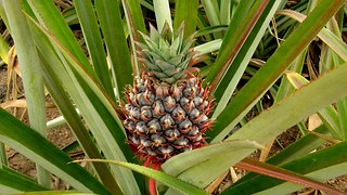 ananas-allergie