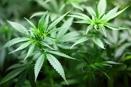 Hanf Pflanze Cannabis Allergie