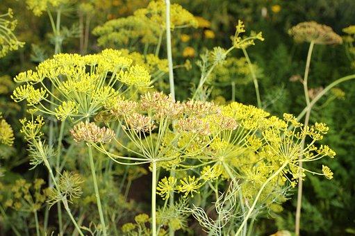Dillallergie Pflanze