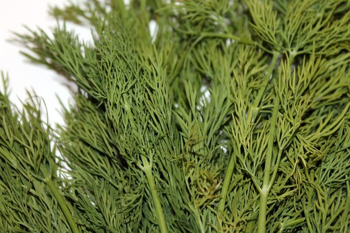 Dill Allergie