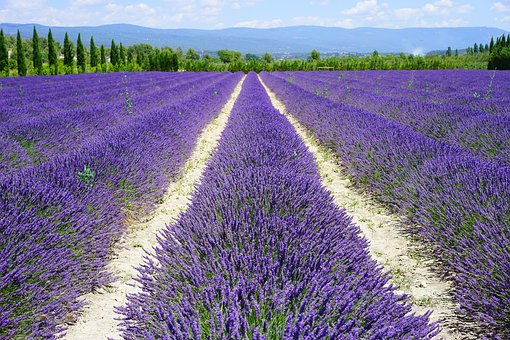 Lavendel Allergie