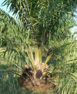 Palmoel Allergie, Oelpalme