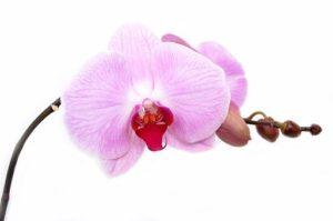 Orchideen Allergie