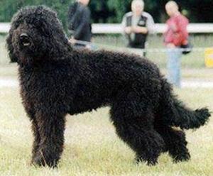 Barbet Allergiker Hund