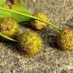 Platanen Pollen